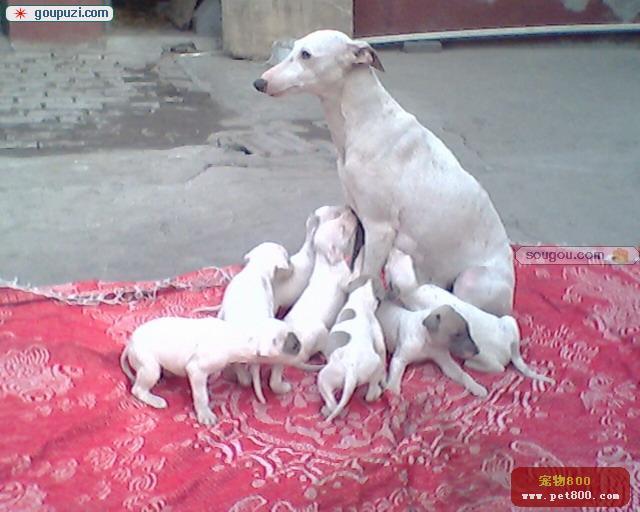 出售超可爱家养宠物狗
