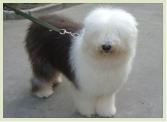 古代牧羊犬价格白头通背四脚踏雪幼犬待售签合同保健康3