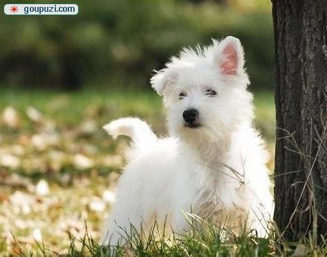 售---高品质西高地白梗犬!