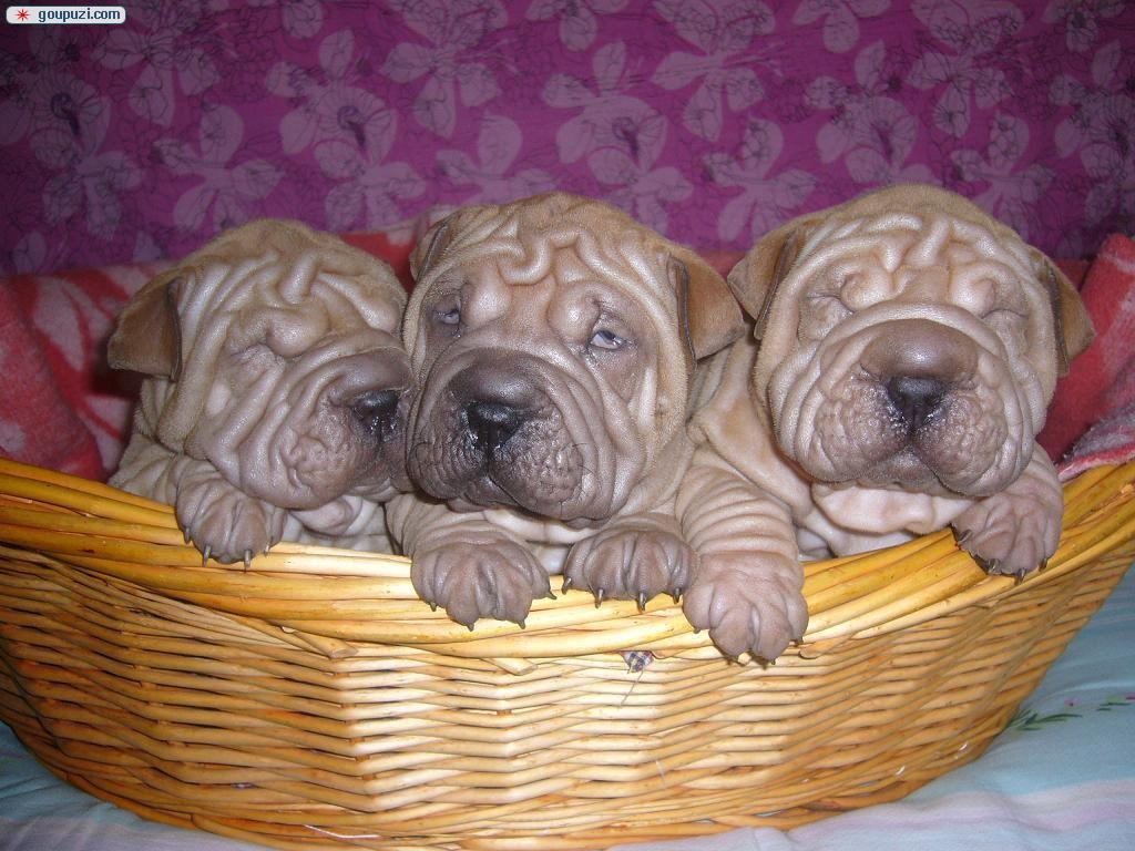沙皮犬 合肥哪里有沙皮犬出售 包健康纯种 购买送礼包3