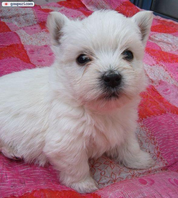 上海纯种西高地白梗幼犬出售不掉毛无体臭好打理小型犬