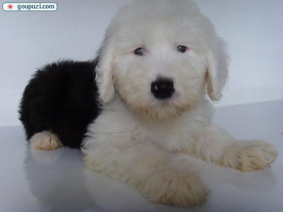 精品纯种曲靖古代牧羊犬出售质量三包微信咨询看狗