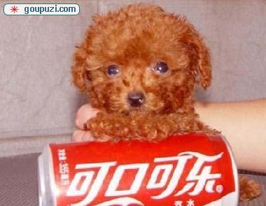 广州哪里有卖茶杯犬贵宾 纯种红色灰色茶杯泰迪哪里买3