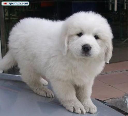 南京帅气拉风的纯血统大白熊转让 毛色非常漂亮