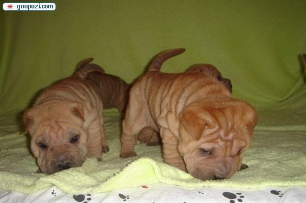 阿克苏出售自家繁殖纯种沙皮犬 褶子多样子憨厚