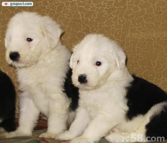 精品纯种古代牧羊犬出售质量三包微信选狗直接视频