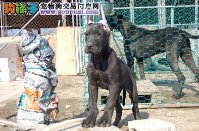 出售纯种黑色大丹幼犬