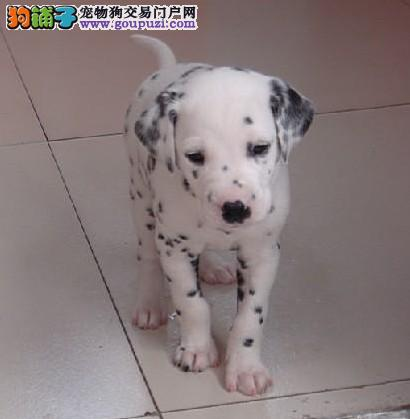 实体店热卖斑点狗颜色齐全赠送全套宠物用品1