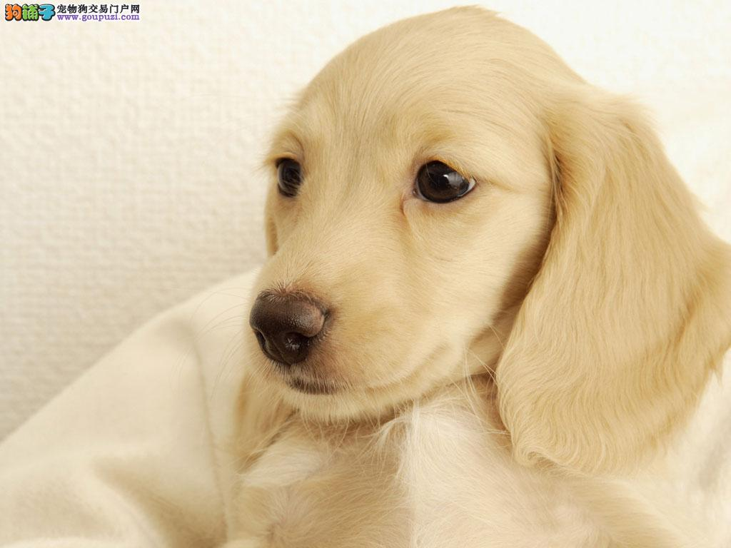 常州售大眼睛腊肠犬幼犬短腿萌犬腊肠犬长身子十分可爱