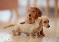 100%纯种健康的腊肠犬出售签署质保合同图片