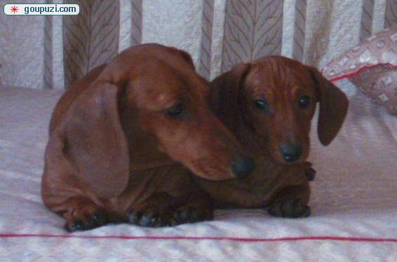 广州哪里有卖腊肠犬 腊肠犬什么价格 纯种腊肠犬3