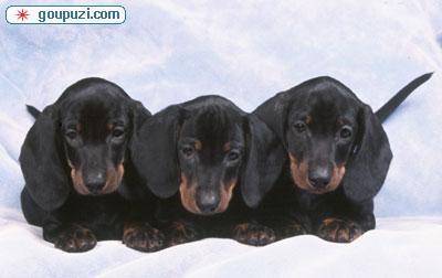 CKU认证/专业犬舍出售纯种腊肠幼犬/质保三年。