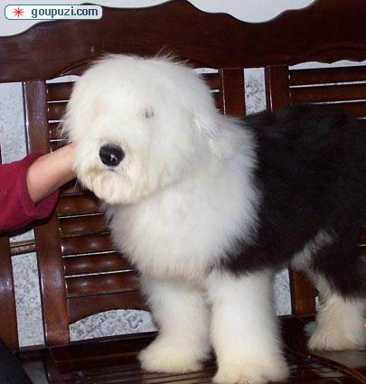 上海达达犬业纯种英国古老牧羊犬单边花色