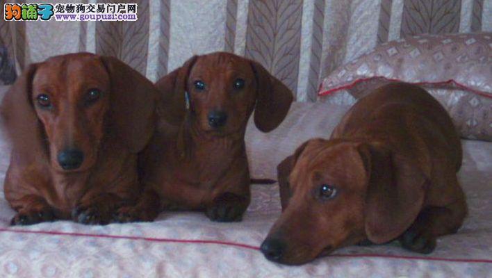 精品腊肠犬幼犬一对一视频服务买着放心专业品质一流
