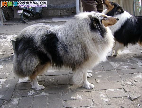 武汉纯种苏格兰牧羊犬宝宝找新家 疫苗驱虫已做