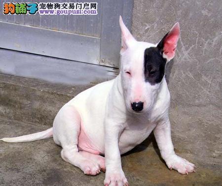 哈尔滨直销纯种子弹头牛头梗犬 有色白色牛头梗 花色正