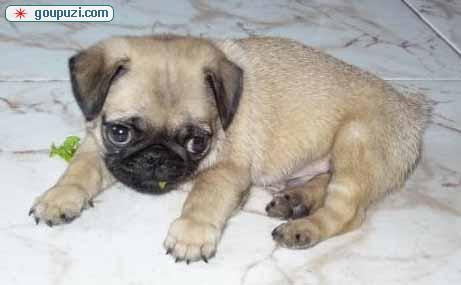 北京繁殖基地出售多种颜色的巴哥犬喜欢微信咨询