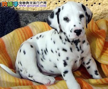 实体店热卖斑点狗颜色齐全赠送全套宠物用品3