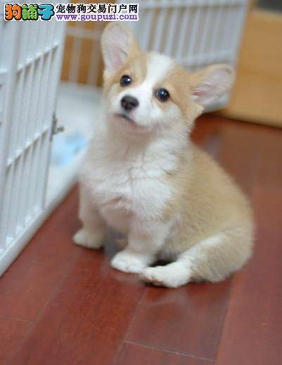 实体店低价促销赛级柯基幼犬期待您的光临