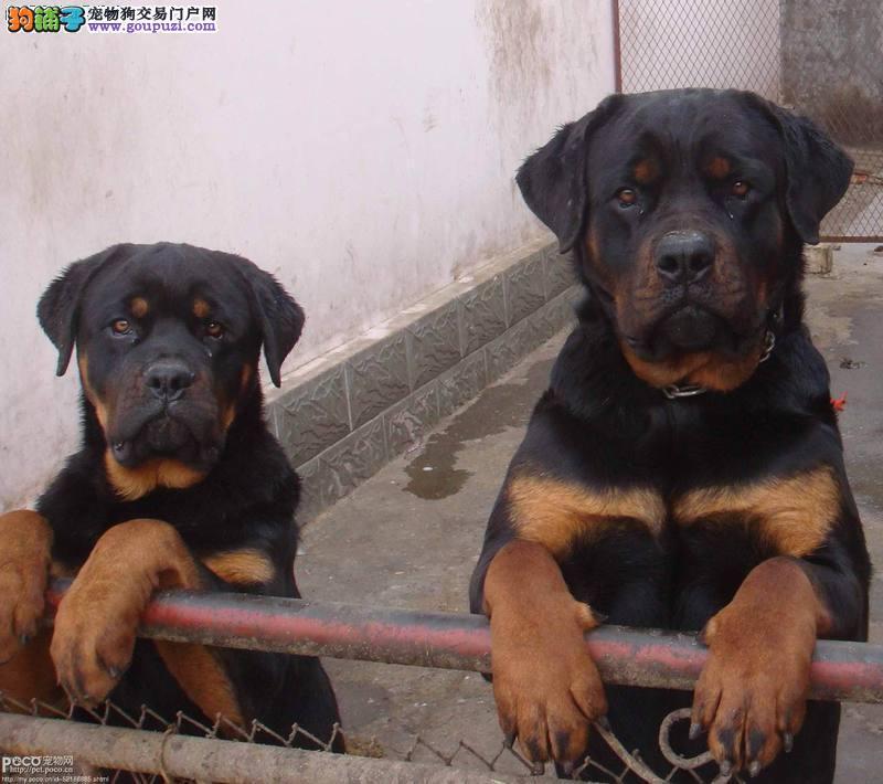 昆明精品防暴护卫犬罗威纳幼犬工作犬多只可选