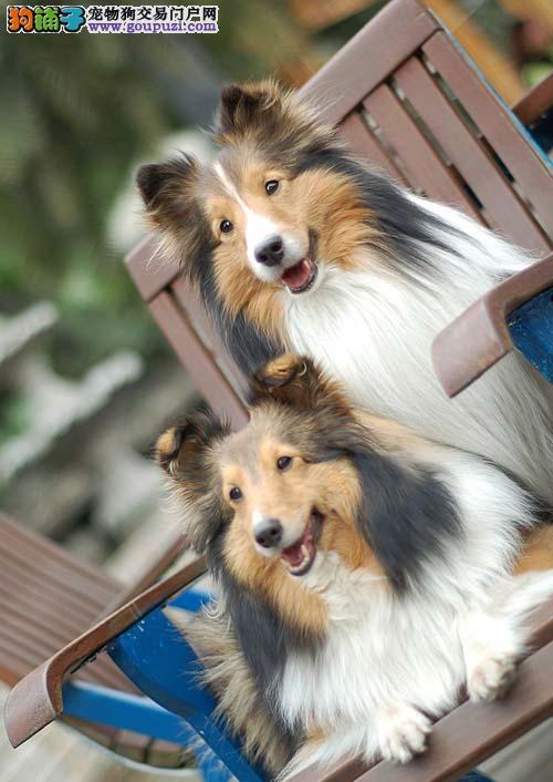 杭州出售喜乐蒂牧羊犬 可视频看狗可上门挑选全国发货