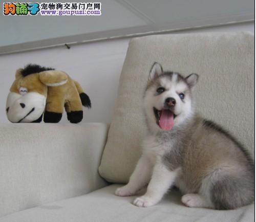哈士奇幼犬出售中 金牌店铺品质保障 喜欢加微信