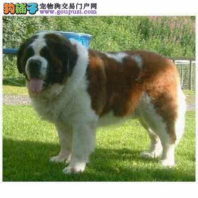 南昌CKU认证犬舍出售高品质圣伯纳终身质保终身护养指导