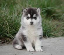 纯种哈士奇幼犬 蓝眼鸳鸯眼 骨量大身体健康 周边可送2
