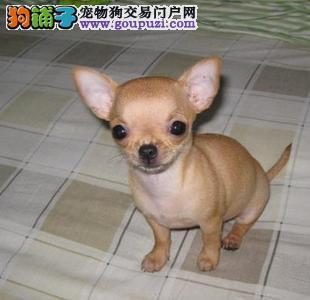 世界上最小狗 最小的吉娃娃犬