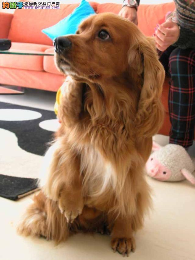 出售宠物狗泰迪熊犬 红色 香槟色 巧克力色泰迪熊狗