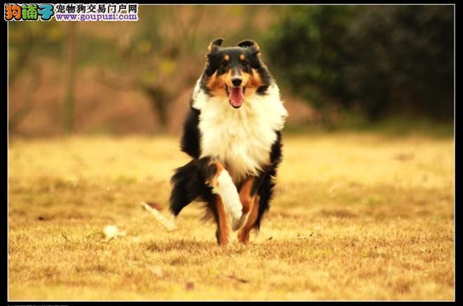 亳州市喜乐蒂幼犬 公母全谢德兰牧羊犬出售三针齐
