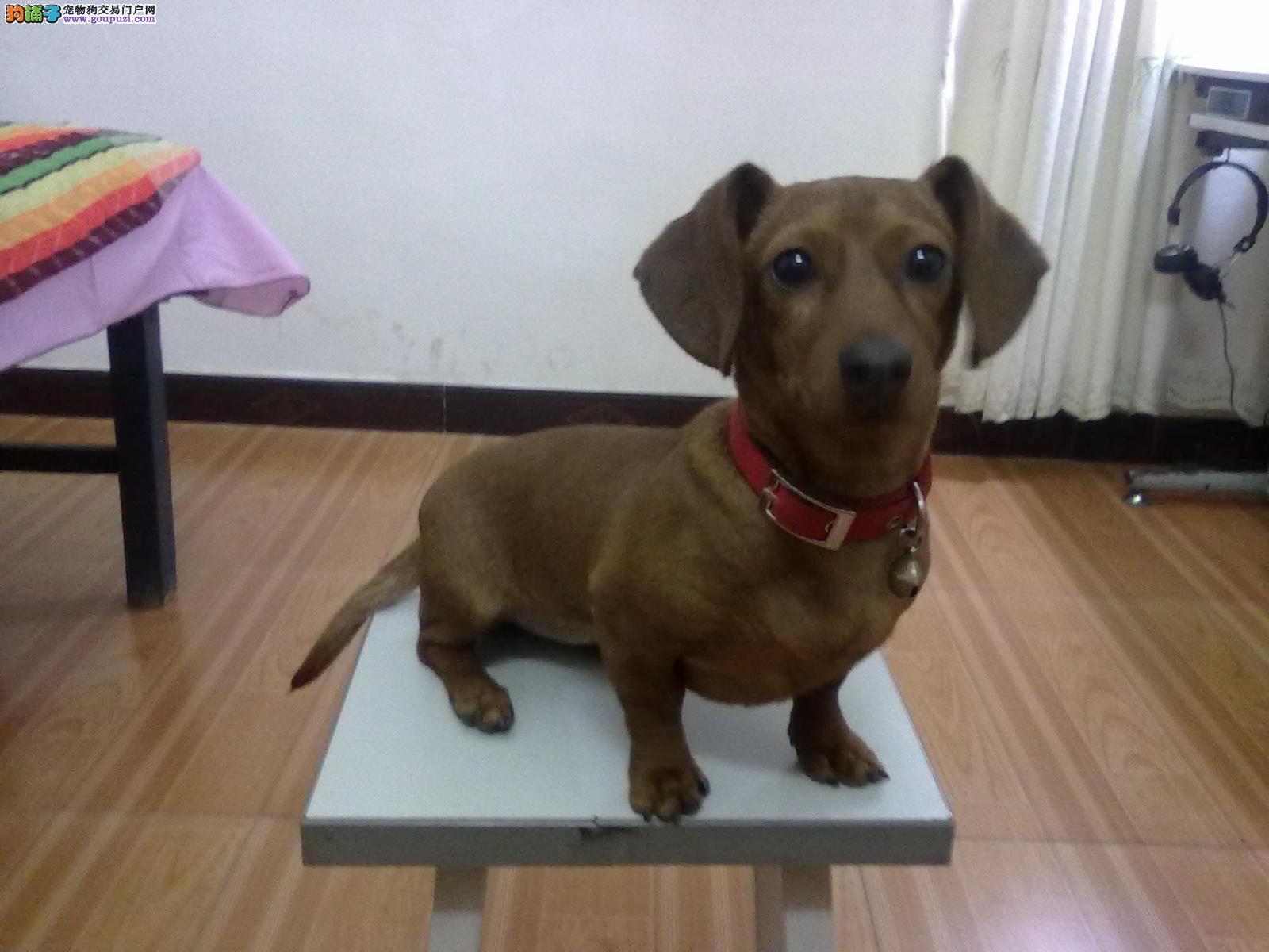 出售纯种短毛腊肠幼犬 自家大狗繁殖 保证纯种健康