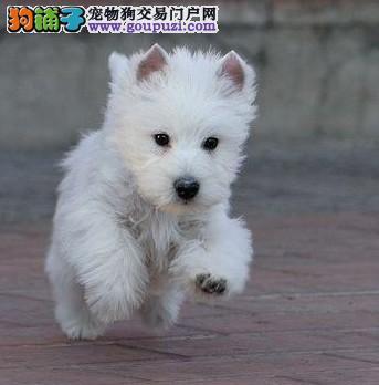 出售家养血统纯种西高地幼犬温顺活泼漂亮公母都有2