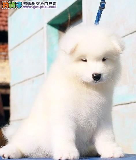 新乡繁育萨摩耶犬直销高端品质签协议微笑天使萨摩