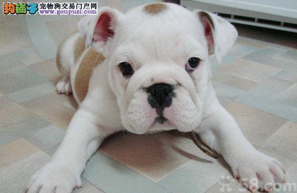出售优秀可爱北京斗牛犬 周边地区可上门挑选价格优惠