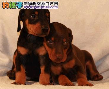 贵阳本地出售高品质杜宾犬宝宝专业繁殖中心值得信赖