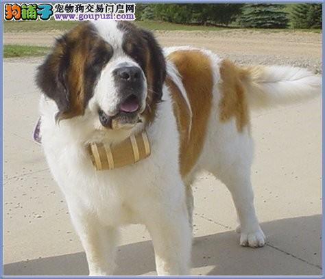 国际注册犬舍 出售极品赛级圣伯纳幼犬全国送货上门1
