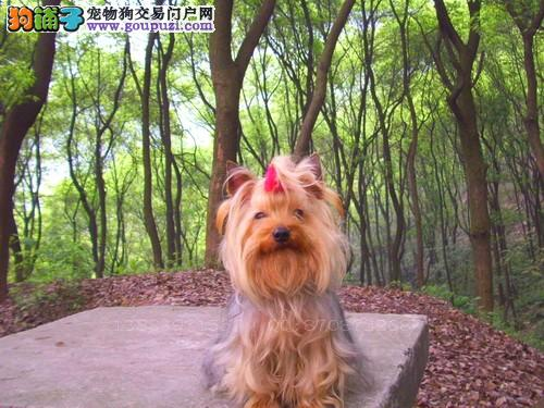 扬州市出售约克夏幼犬 公母都有 疫苗齐全 可视频看狗