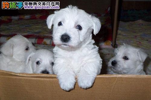 重庆体型完美的西高地犬幼犬出售 女神最爱 品种优秀
