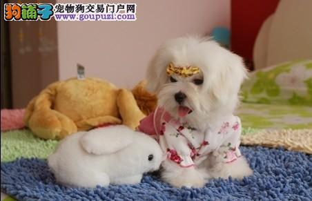 南京哪里有卖马尔济斯犬的 南京有纯种的马尔济斯犬