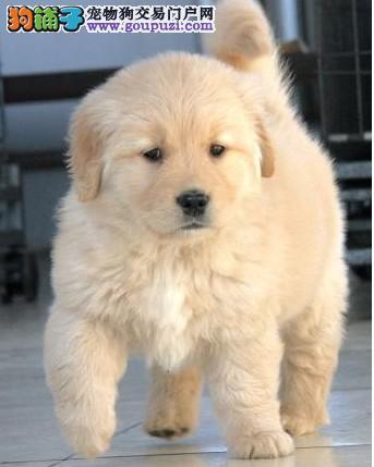 犬舍直销纯种金毛幼犬 健康保证