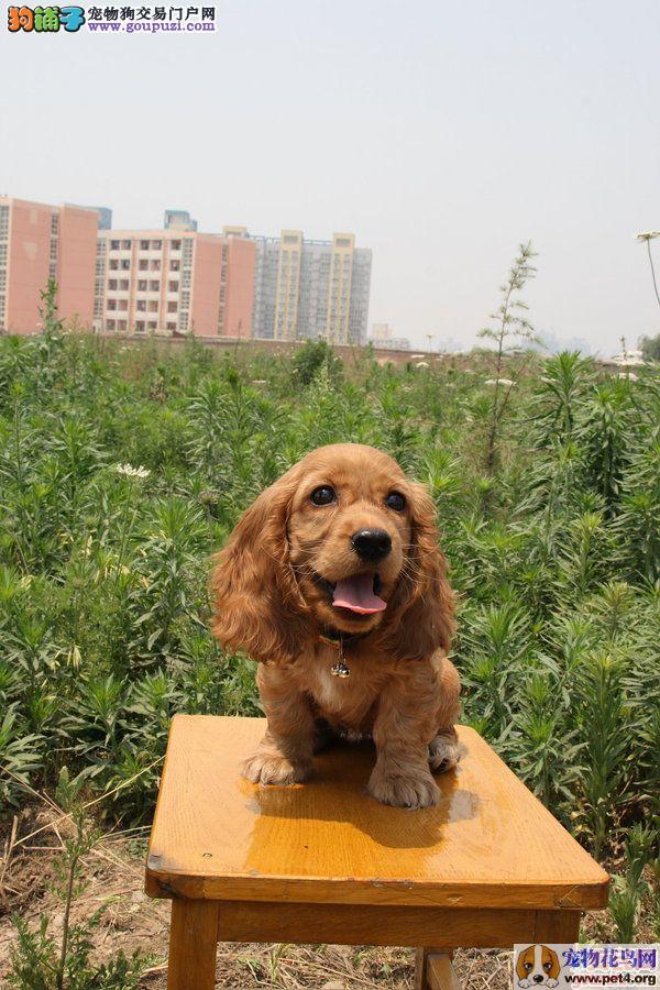 活泼可爱的可卡犬出售赛级品相纯种可卡犬保健康包纯种