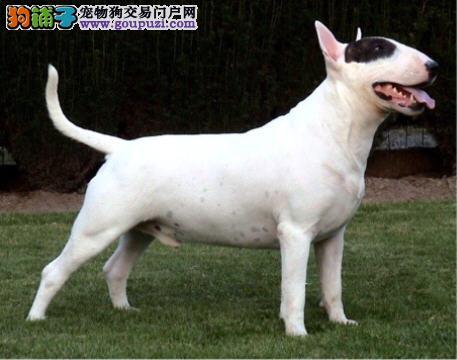 牛头梗幼犬热销中 CKU认证犬舍 可签保障协议