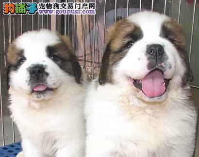 大型犬圣伯纳/纯种血统圣伯纳/1