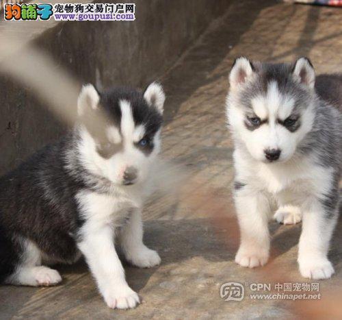 北京出售三把火哈士奇幼犬二哈小哈撒手没公母全有