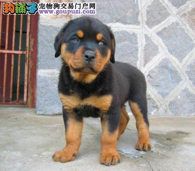 西安地区 出售罗威那幼犬