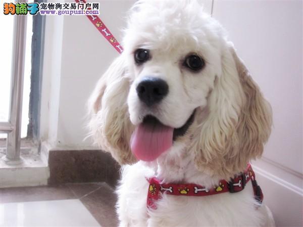 南京哪里有卖可卡幼犬南京可卡犬多少钱南京可卡犬价格