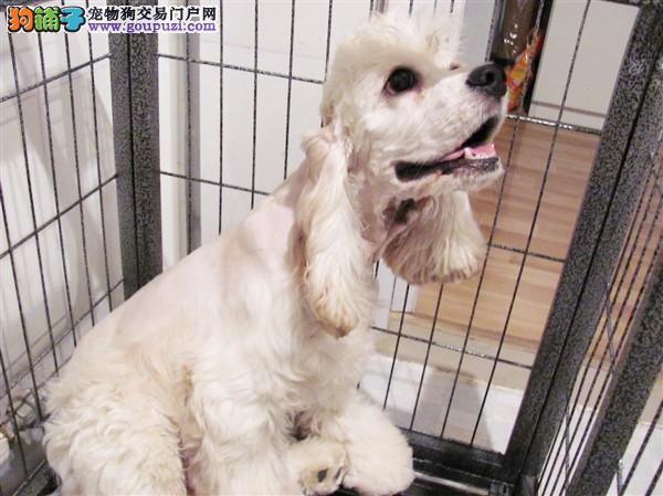 出售纯种可卡犬幼犬价格优惠可爱健康质量保证欢迎选购