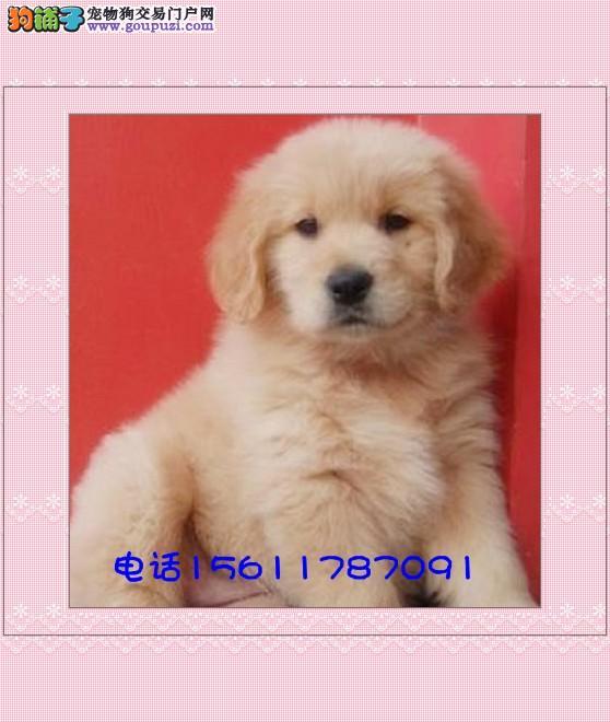 三个月金毛犬图片 4个月金毛犬图片 四个月金毛犬图片