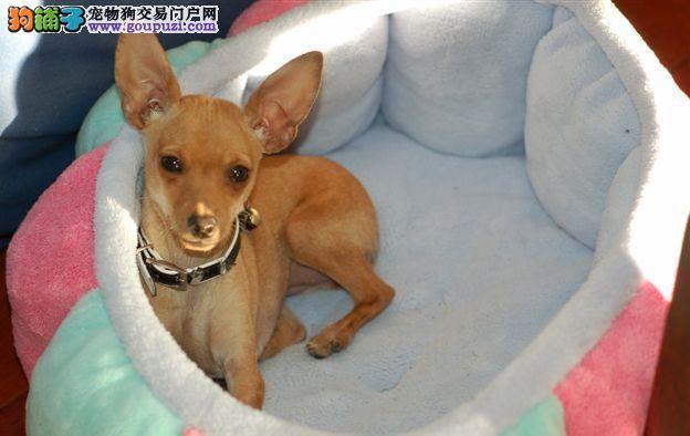 纯种小鹿犬幼犬出售疫苗驱虫做质保三个月纯种繁殖基地